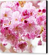 Spring Cherry Blossoms  Canvas Print by Elena Elisseeva