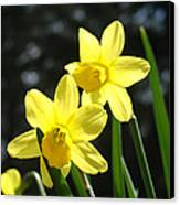 Spring Floral Art Prints Glowing Daffodils Flowers Canvas Print by Baslee Troutman