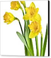 Spring Yellow Daffodils Canvas Print by Elena Elisseeva