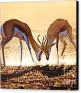 Springbok Dual In Dust Canvas Print by Johan Swanepoel