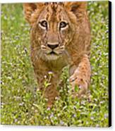Stalking Practice Canvas Print by Ashley Vincent