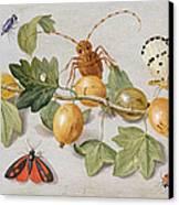 Still Life Of Branch Of Gooseberries Canvas Print by Jan Van Kessel
