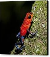 Strawberry Poison Frog Canvas Print by Science Photo Library