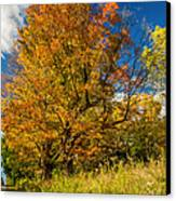 Sugar Maple 3 Canvas Print by Steve Harrington
