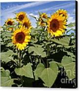 Sunflower Field Canvas Print by Kerri Mortenson