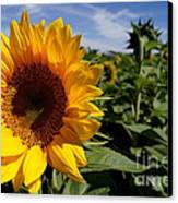 Sunflower Glow Canvas Print by Kerri Mortenson