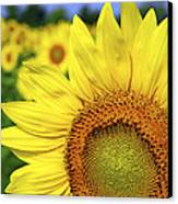 Sunflower In Field Canvas Print by Elena Elisseeva