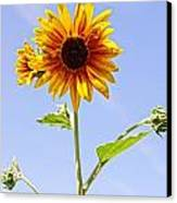 Sunflower In The Sky Canvas Print by Kerri Mortenson