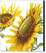 Sunflower Perspective Canvas Print by Kerri Mortenson