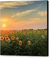 Sunflower Sundown Canvas Print by Bill Wakeley