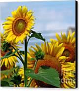 Sunflowers 1 2013 Canvas Print by Edward Sobuta