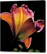 Sunlit Lily Canvas Print by Rona Black