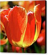 Sunlit Tulips Canvas Print by Rona Black