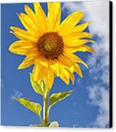 Sunny Sunflower Canvas Print by Joshua Clark