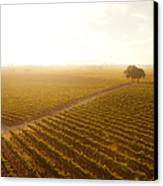 Sunrise Over The Vineyard Canvas Print by Diane Diederich