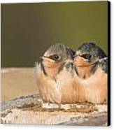 Swallow Chicks Canvas Print by Yeates Photography