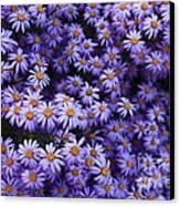 Sweet Dreams Of Purple Daisies Canvas Print by Carol Groenen