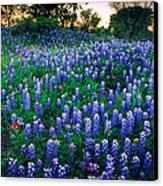 Texas Bluebonnet Field Canvas Print by Inge Johnsson