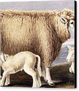 The Cotswold Breed Canvas Print by David Low