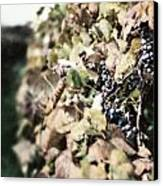 The Grapevines Canvas Print by Lisa Russo