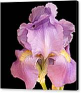 The Iris In All Her Glory Canvas Print by Andee Design