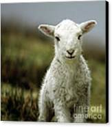 The Lamb Canvas Print by Angel  Tarantella