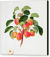 The Tartarian Crab Apple Canvas Print by William Hooker