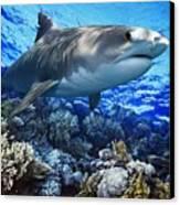 Tiger Shark Galeocerdo Cuvier Canvas Print by Owen Bell