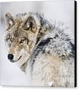Timber Wolf Pictures 1268 Canvas Print by World Wildlife Photography