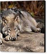 Timber Wolf Pictures 945 Canvas Print by World Wildlife Photography