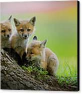 Trio Of Fox Kits Canvas Print by Everet Regal