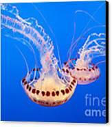 Twin Dancers - Large Colorful Jellyfish Atlantic Sea Nettle Chrysaora Quinquecirrha  Canvas Print by Jamie Pham