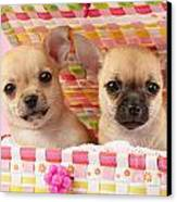 Two Chihuahuas Canvas Print by Greg Cuddiford