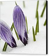 Two Purple Crocuses In Spring With Snow Canvas Print by Matthias Hauser