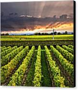 Vineyard At Sunset Canvas Print by Elena Elisseeva