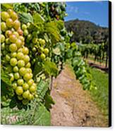 Vineyard Grapes Canvas Print by Justin Woodhouse