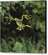 Wallaces Flying Frog Canvas Print by Stephen Dalton
