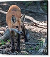 Wary Fox Canvas Print by Bianca Nadeau