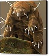 Water Bear Or Tardigrade Canvas Print by Science Photo Library