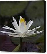 Water Lilly7 Canvas Print by Charles Warren