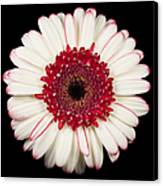 White And Red Gerbera Daisy Canvas Print by Adam Romanowicz