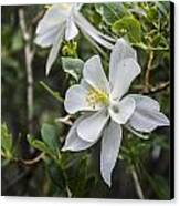 White Columbine Canvas Print by Aaron Spong