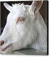 White Goat Canvas Print by Ann Horn