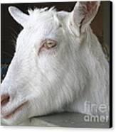 White Goat Canvas Print by Ann Horn
