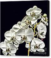 White Orchids Canvas Print by Tom Prendergast