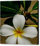 White Plumeria 2 Canvas Print by Cheryl Young