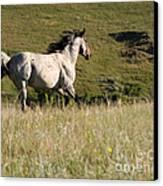 Wild Appaloosa Running Away Canvas Print by Sabrina L Ryan