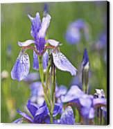 Wild Irises Canvas Print by Rona Black