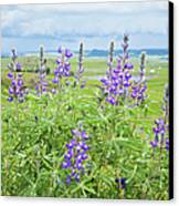 Wild Lupine Canvas Print by Theresa Tahara