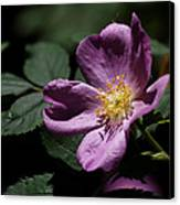 Wild Rose Canvas Print by Rona Black